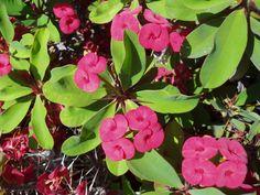 ESPINAS DE CRISTO: Euphorbia milii