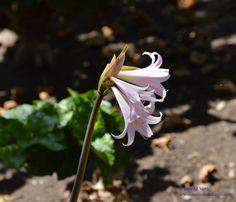 Flor Trompeta