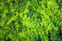 Commonly known as Kidney Weed, Dichondra repens is a dense plant, with small green leaves that are shaped like a kidney. Ground Cover Plants, Potted Plants Outdoor, Plants, Planting Flowers, Fertilizer For Plants, Organic Mulch, Edible Garden, Green Flowers, Shade Garden