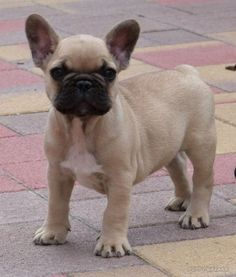 For sale: French Bulldog - Male /  Kevin