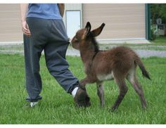 Not only are miniature donkeys adorable, they have a sense of humor!