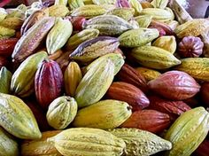 Cacao pods, which contain the seeds processed into cocoa beans, turn bright colors as they ripen. Photo: Courtesy Island X / SF