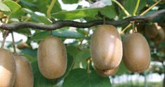 Kiwi fruit Learn How to Grow Kiwi fruit in your home, Growing Kiwi plants, Kiwi fruits care, pests a Kiwi Growing, Growing Hibiscus, Growing Ginger, Hibiscus Plant, Growing Tree, Growing Zucchini, Growing Bell Peppers, Growing Onions, Best Flowers For Bees