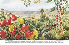 Pre-Columbian Indians Grew Many Kinds of Tomatoes for Food, Yet Whites Long Considered the Love Apples Poisonous. Pear tomatoes, cherry tomatoes,