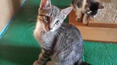 Homer is an adoptable Domestic Short Hair searching for a forever family near Closter, NJ. Use Petfinder to find adoptable pets in your area.