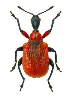 NATURE apoderus coryli
