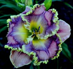 XYLOPHONE JAZZ (STAMILE – PIERCE 2012) SF Daylily Perennial SPRING SHIPPING