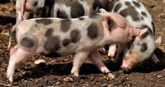 What You Can Do to Protest Dehumanization - The Expectation Gaps de puerco World Day Of Prayer, National Pig Day, Solo Vacation, Pig Images, Small Pigs, Beer Day, Wild Creatures, March 1st, Number Two