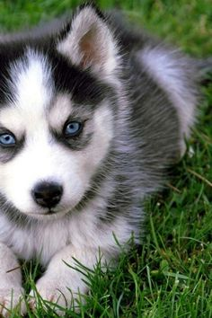 Huskie w/ blue eyes. I told my soldier this is what I want for a Christmas gift !