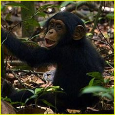 Disney has as movie called Chimpanzees coming out next year. The trailer is absolutely adorable. Can't wait to see it!