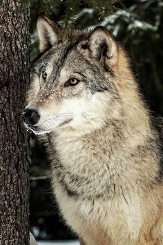 "beautiful-wildlife: ""Grey Wolf by © Wes and Dotty Weber "" beautiful-wildlife: ""Grey Wolf by © Wes an Wolf Photos, Wolf Pictures, Wolf Spirit, Spirit Animal, Beautiful Creatures, Animals Beautiful, Image Avion, Wolf Hybrid, Husky"
