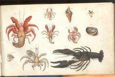 Herbst Crabs & Lobsters Plate XXIII