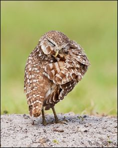 Burrowing Owl Preening - Caught this little guy doing some feather clean up
