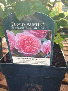 David Austin roses - instead of peony