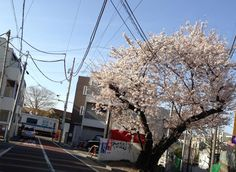 @misrabender 踏切の最後の日を満開の桜が見送ります。 #シモチカ