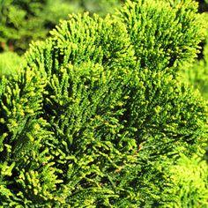Dwarf Hinoki false cypress