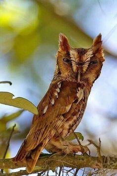Screech owl by Robert Strickland