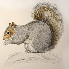 Sketching in Nature: Eastern gray squirrel - Sciurus carolinensis