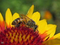 Honey Bee on Gaillardia Flower