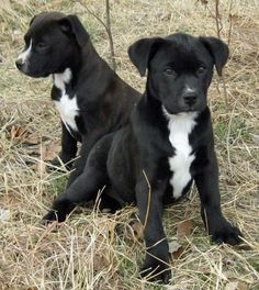 PLABS the world of Pit/Lab Mixes on Pinterest | Pit Bull Mix, Lab ...