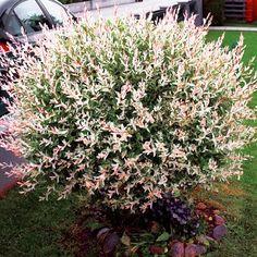 Japonská vrba Deer Resistant Garden, Japanese, Flowers, Plants, Flamingo, Terrace, Garden Ideas, Gardens, Decor