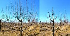 Imagini comparative cu meri, înainte și după tăieri | Paradis Verde
