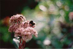 B. terrestis queen and honey bees