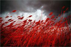 """Bild von Medford Taylor - """"Ein rotes Getreidemeer im Wind"""""""