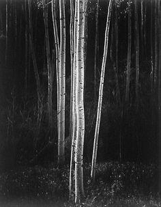 ansel adams birch trees - Google Search