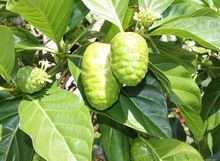 5 seeds/pack NONI Seeds Delicious Fruit Morinda Citrifolia Tree Seed 5pcs Free shipping(China (Mainland))