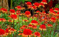 The Spring Planting Season is well underway.  Echinacea can light up your garden for months!
