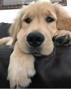 Filhote de golden retriever. Pinterest: @giovana.