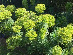 My garden, Burrawang Herbs, Garden, Flowers, Photos, Ideas, Garten, Pictures, Lawn And Garden, Herb