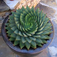 Aloe polyphylla (Spiral Aloe)  -Full sun to light shade  -Hardy to USDA zones 7b (5-10° F)  -Plant in a well drained soil and water regularly (thirstier than most aloes!)