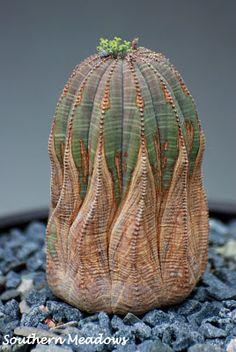 Un bell'esemplare di Euphorbia obesa