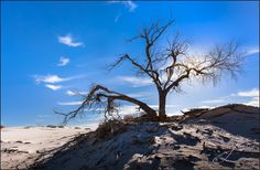 King Over the Thistles – White Sands New Mexico