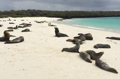 Gardner Bay, Capuz Island, Ilhas Galápagos    Faça Snorkel na água azul-turquesa e, quando você cansar, descanse com leões marinhos pegando sol na bela praia de areia branca.