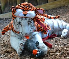 Remington white tiger  dressed like his father