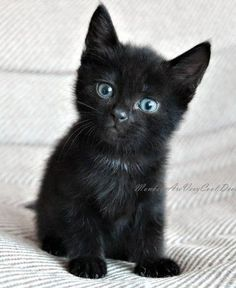 is the Average Maine Coon Lifespan meow! so adorable :) i want a black cat soo bad especially with baby blues. so adorable :) i want a black cat soo bad especially with baby blues. Cute Baby Cats, Cute Cats And Kittens, Cute Baby Animals, I Love Cats, Cool Cats, Kittens Cutest, Animals Kissing, Lps Cats, Animals Dog