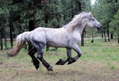 Percheron Gallop - Stock by ~Valarian-Warrior Free Horses, Big Horses, Horse Love, Percheron Horses, Animals Amazing, Draft Horses, Horse Pictures, Animals Images, Beautiful Horses
