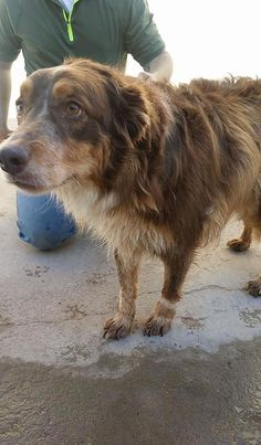 11/14/16-URGENT- OWNER SURRENDER  Brandy is a female Collie 3-5 years old  Kennel (ask the staff to meet her)  $51 to adopt  ADOPT/RESCUE/FOSTER   Located at Odessa, Texas Animal Control. Must have a valid Drivers License and utility bill with matching address to adopt. They accept Credit Cards, cash or checks. We ARE NOT the pound. We are volunteers who network these animals to try and find them homes. Please send us a PM if we can answer any questions for you.