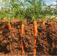Parts Of A Carrot Plant Beautiful World Carrot Museum Description Of Carrot Root How To Plant Carrots, Planting Vegetables, Growing Vegetables, Free Nursery Rhymes, Carrot Vegetable, Vegetable Illustration, Kids Background, Kids Art Class, Activities For Kids