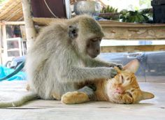 A Macaque monkey plays groomer to a ginger tom cat.