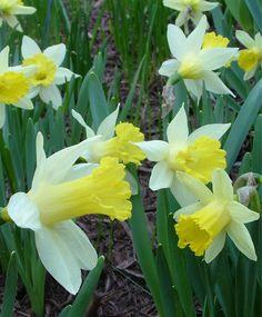 Narcissus Topolino - Miniature Trumpet Daffodils - Narcissi - Flower Bulbs Index