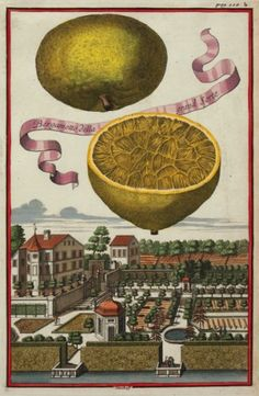 dreamssoreal:    Large Bergamot (Bergamotte della grand Sorte) by Johann Volckamer, 1708  Source: http://www.sotherans.co.uk