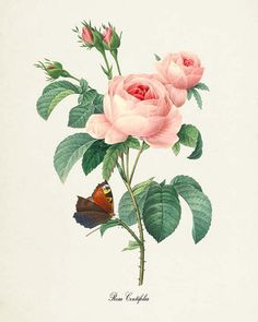 This is a print of a Rosa Centifolia flower based on the artwork of Pierre-Joseph Redouté from the 1800s. Redouté was considered one of the greatest botanical illustrators of all time. The original art has been cleaned up and enhanced to create an attractive display piece for your home or office.  The image is printed on professional, acid free, archival matte fine art paper giving the image rich and vibrant colors.  Prints are packaged in acid-free, moisture resistant sleeves, and shipped…