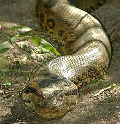 Green Anaconda Anaconda Snake, Green Anaconda, Pet Snake, Creature Design, Shotgun, Wild Animals, Snakes, Reptiles, Animal Pictures