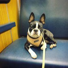 ...sometimes i need my own seat  #dottiethebostie #bostonterrier #dogsofinstagram #munichdogs #instadog