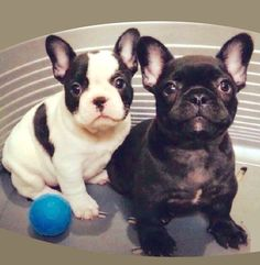 """Check out our site for even more relevant information on """"bulldog dogs"""". It is an outstanding location to find out more. Cute Puppies, Cute Dogs, Dogs And Puppies, Doggies, French Bulldog Puppies, French Bulldogs, Cute Baby Animals, Animals And Pets, Dog Day Afternoon"""
