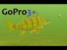 GoPro Hero Black 3 Underwater Perch Fishing Underwatervideo Trout Rainbowtrout Amazing Spectacular Interesting